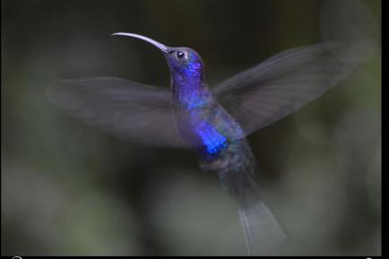 Sabrewing Hummingbird